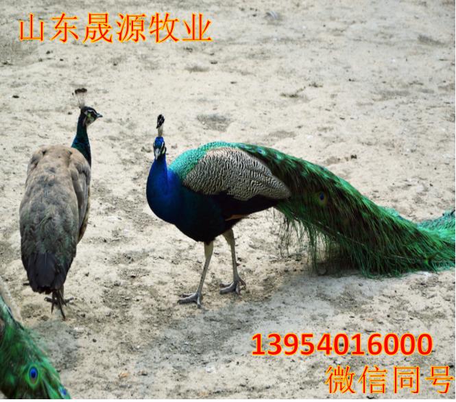 高存活率孔雀苗 特种养殖孔雀活体 孔雀苗批发包邮示例图11