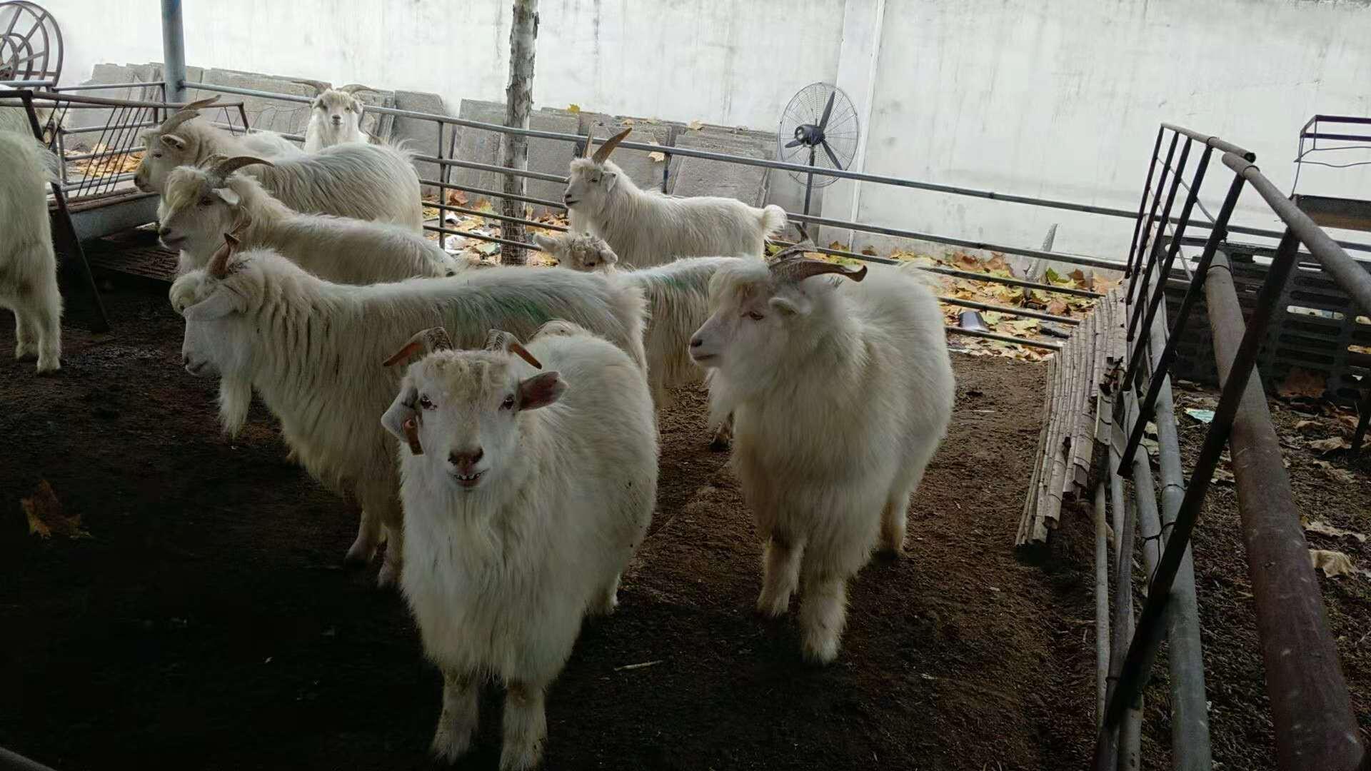 专业养殖绒山羊,绒山羊肉驴厂家直销,绒山羊批发,绒山羊价格示例图1