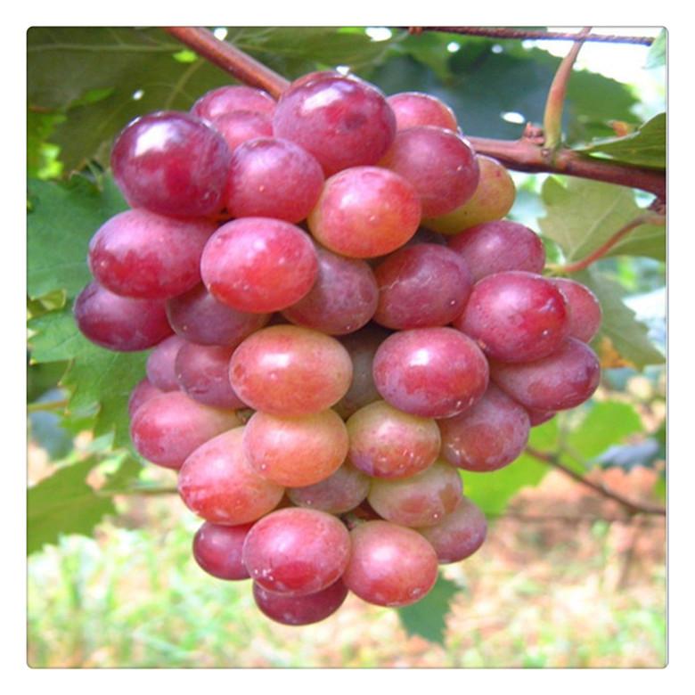 低價供應,葡萄苗新品種,夏黑紅提葡萄苗, 成活率高