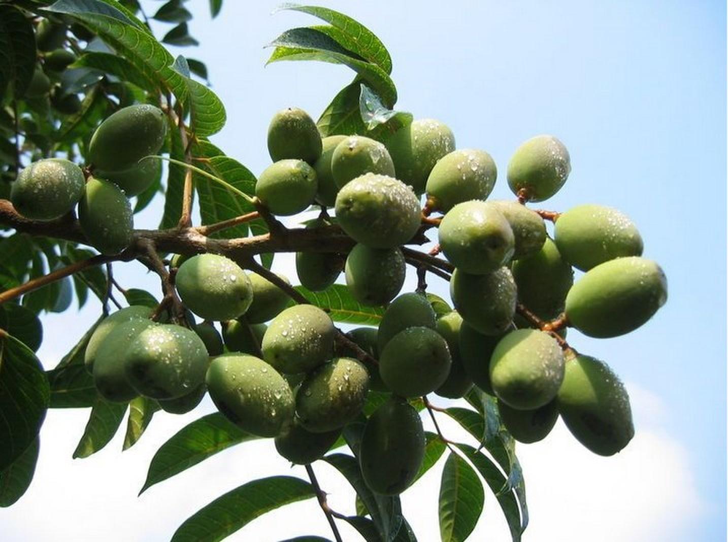 橄榄叶提取物 羟基酪醇 20%示例图5