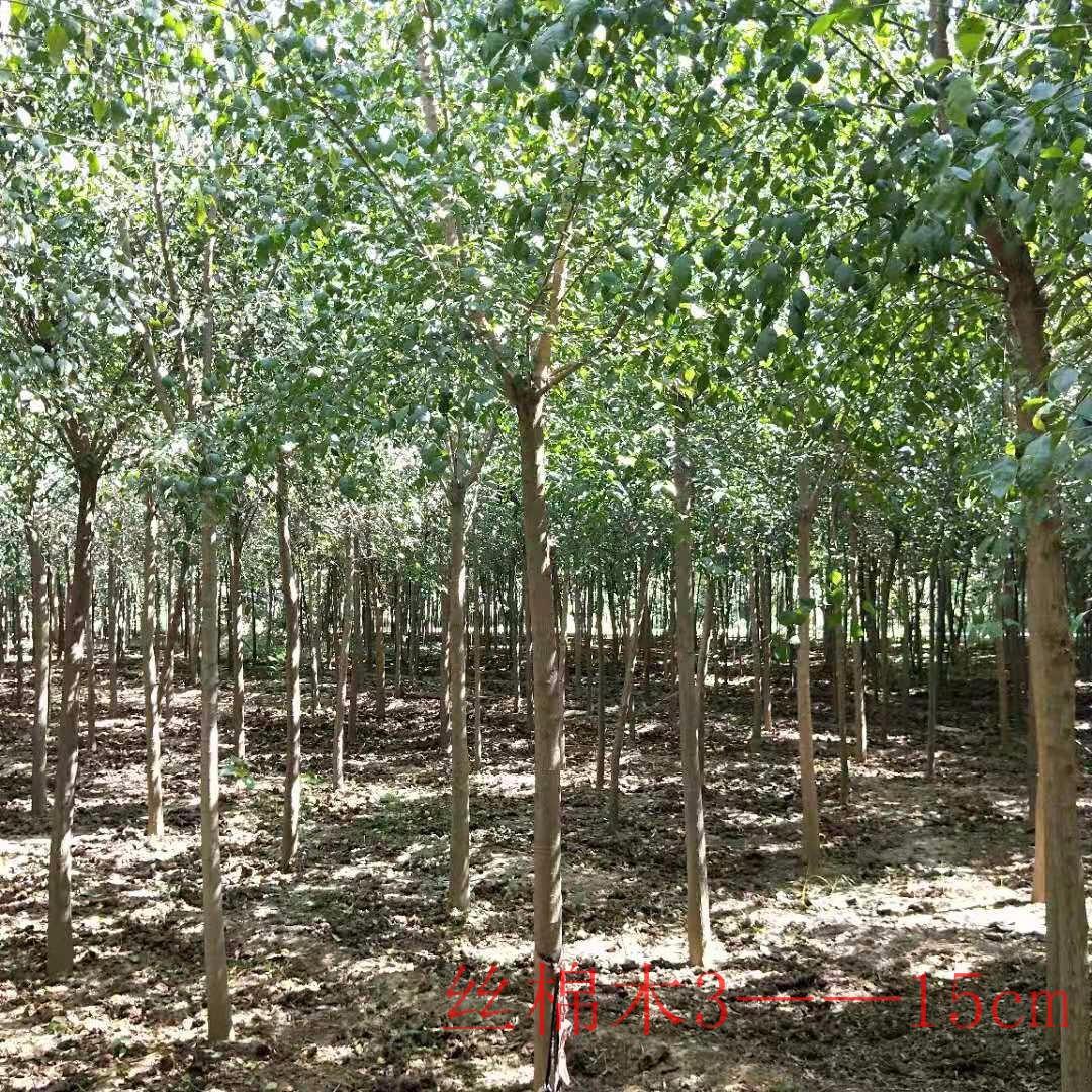 kang-yi 絲綿木價格 2019秋季河南絲綿木報價 風景樹行道樹選擇絲綿木