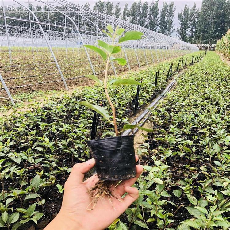 大量出售吉塞拉砧木 供应吉塞拉5、6、12号樱桃苗 现货供应嫁接樱桃矮化砧木  茂源园艺