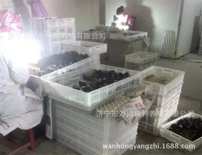 【贵妃鸡出售】贵妃鸡出售价格_贵妃鸡出售批发_贵妃鸡示例图9