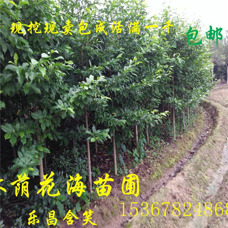 长期供应乐昌含笑 湖南绿化苗木行道树景叶白兰 胸径3公分