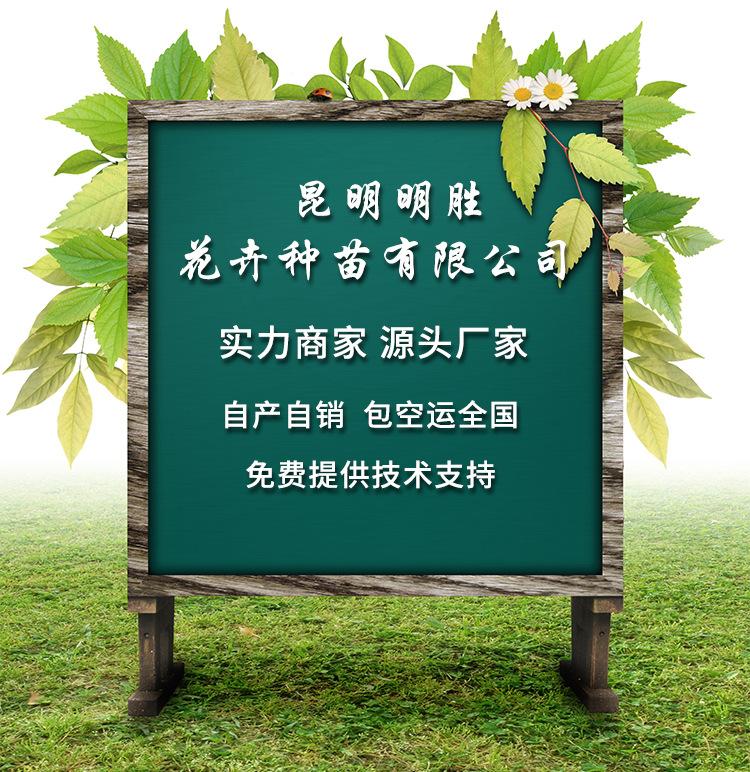 昆明基地自产自销四季开花迷你种苗迷你玫瑰花苗多季开花现货供应示例图1