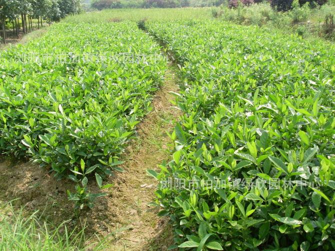 基地批发绿化苗木 栀子花苗 大叶小叶栀子花 庭院植物