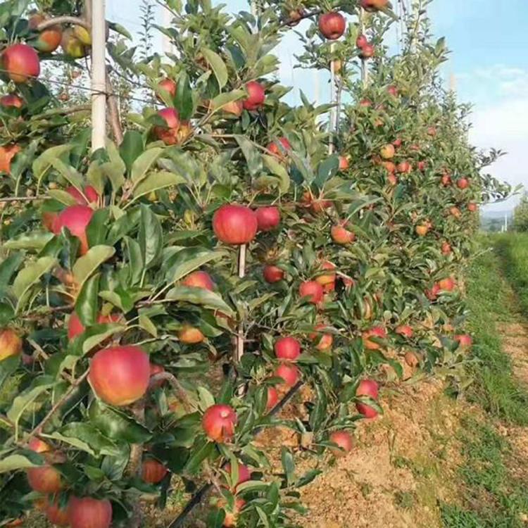 优质矮化苹果树苗  高产苹果苗  矮化苹果树基地现货直销 诚萱园艺