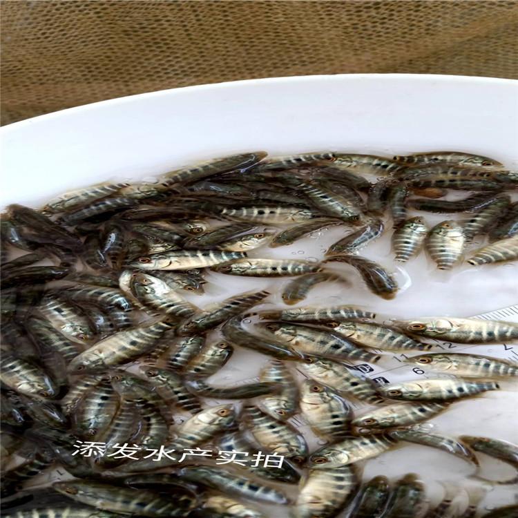 鱼苗厂家供应 基地供应 淡水石斑鱼苗批发价格 添发水产