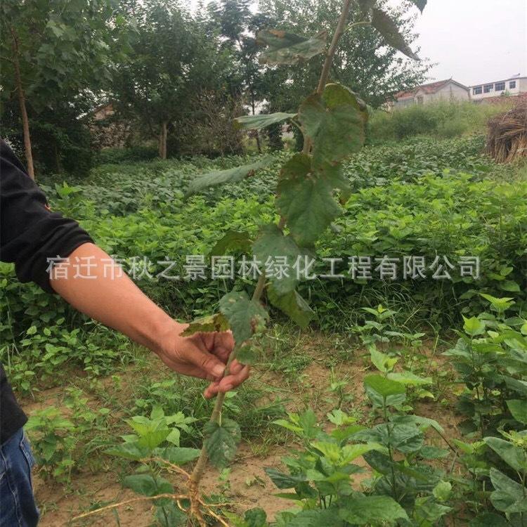 台湾四季桑树苗基地批发 果桑 四季结果 庭院种植果树苗 味甜汁多示例图4