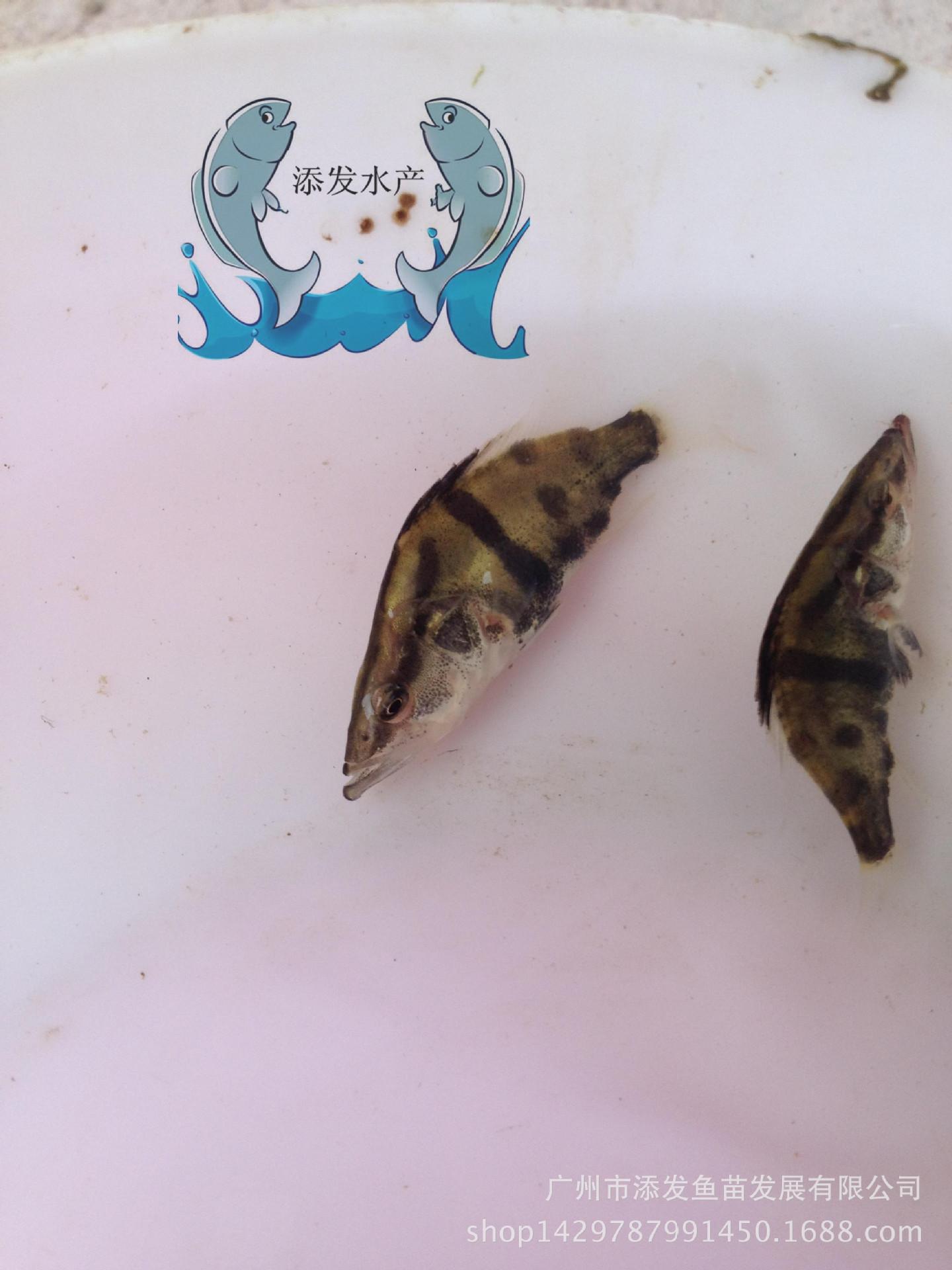 【大量批发】桂花鱼苗批发 鳜鱼供应示例图1