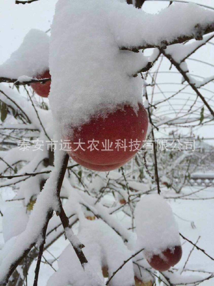 映霜红桃树苗  桃苗价格优惠 成活率高达98% 晚熟雪桃品种示例图7