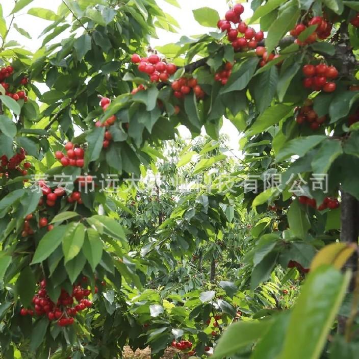 直銷櫻桃樹苗 嫁接車厘子櫻桃樹 品種純正 成活率高 美早櫻桃樹示例圖15