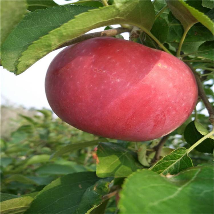 爱妃矮化苹果苗价格 高1m烟富8号苹果苗  供应华硕苹果苗基地 诚萱园艺