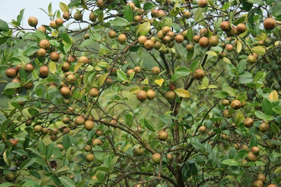 厂家澳洲茶树单方精油批发 进口天然澳洲茶树精油供应