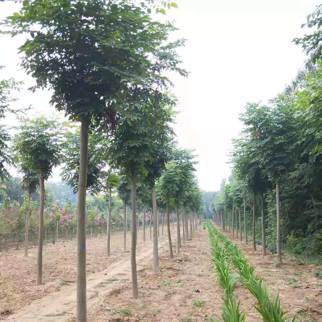 優質欒樹,河南欒樹,黃山欒樹,12公分欒樹,河南苗木基地,桿直冠圓