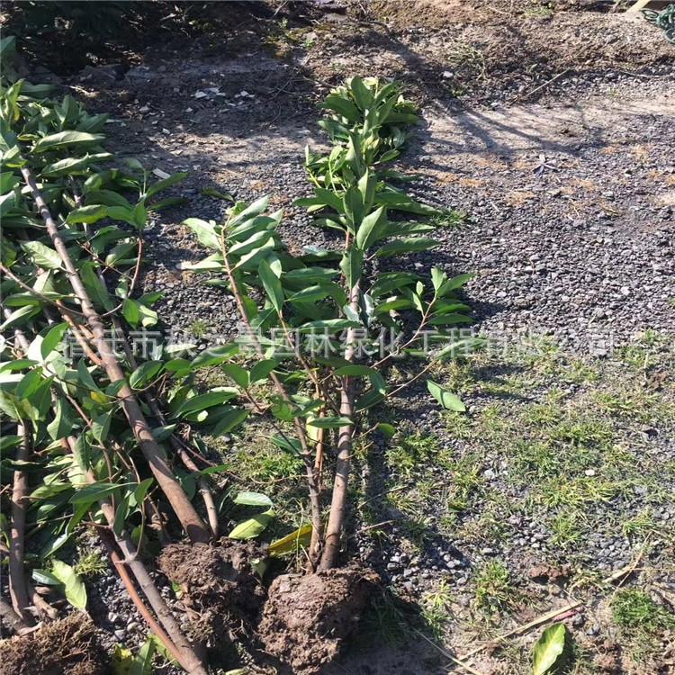 法国冬青/珊瑚树基地批发 园林道路绿化绿篱法国冬青 规格齐全示例图10