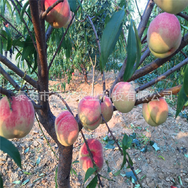 映霜红桃树苗  桃苗价格优惠 成活率高达98% 晚熟雪桃品种示例图10