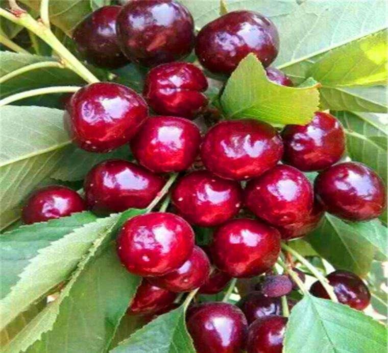 新品种黑珍珠樱桃苗品种好