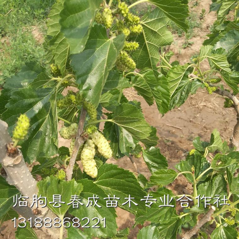 供应桂花蜜桑葚苗 优质高产桑葚苗示例图3