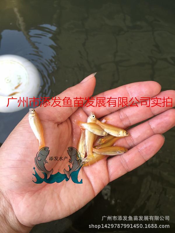 【大量出售】纯种俄罗斯金草鱼鱼苗 金丝鲩鱼苗批发示例图2