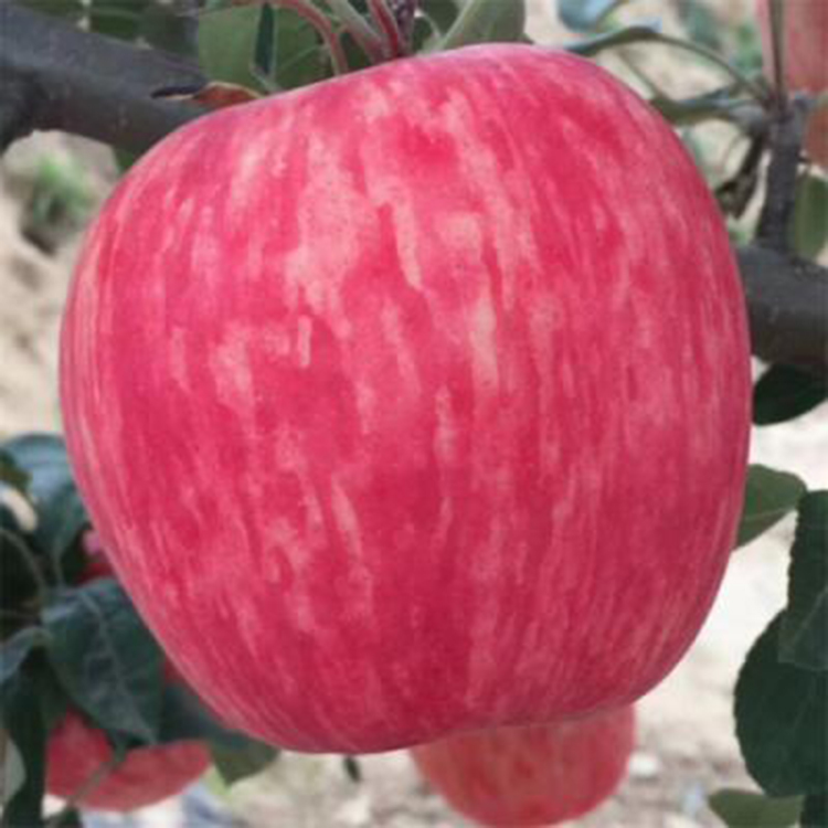 矮化鲁丽苹果苗基地直销  鲁丽苹果树苗基地 鲁丽苹果苗接穗 诚萱园艺