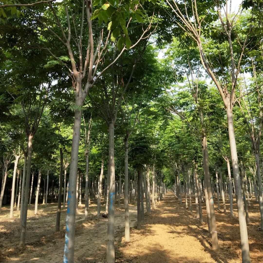 河南鄢陵苗木基地 直銷各個規格欒樹