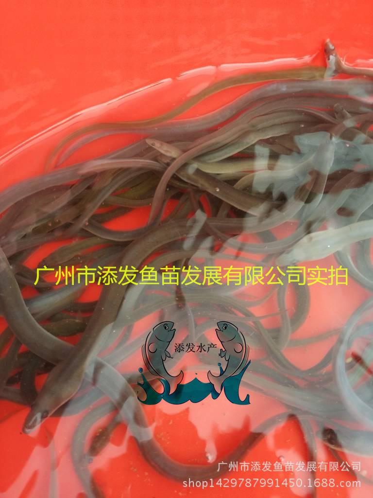 广州市添发鱼苗发展有限公司批发各种优质鱼苗 供应鱼苗示例图2