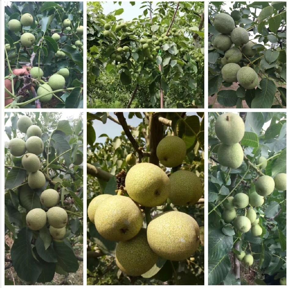 香玲核桃樹苗基地批發核桃樹 薄皮核桃樹 當年結果 核桃樹品種全