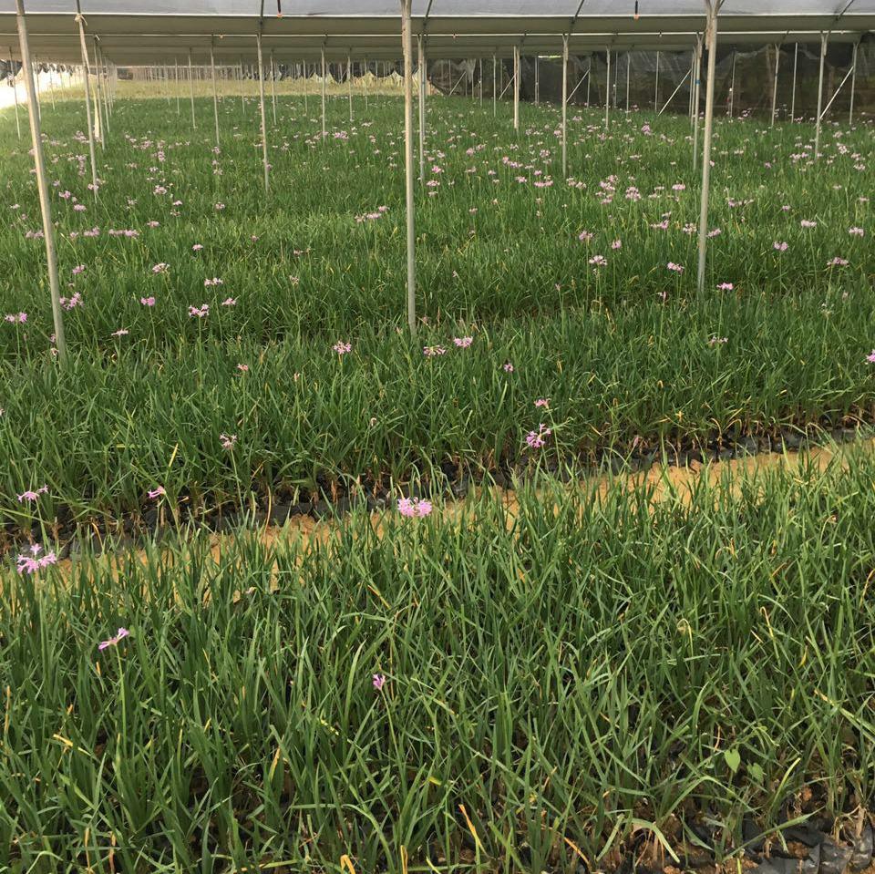 地被植物紫嬌花苗 非洲小百合 園林綠化花卉基地 品種齊全示例圖10
