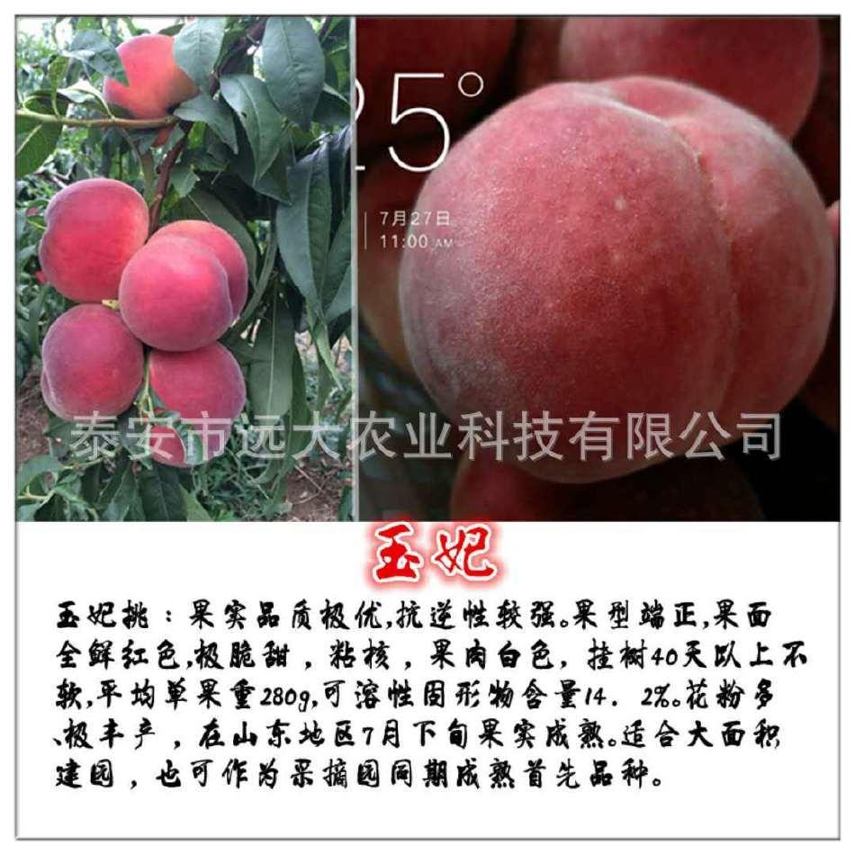 映霜红桃树苗  桃苗价格优惠 成活率高达98% 晚熟雪桃品种示例图4