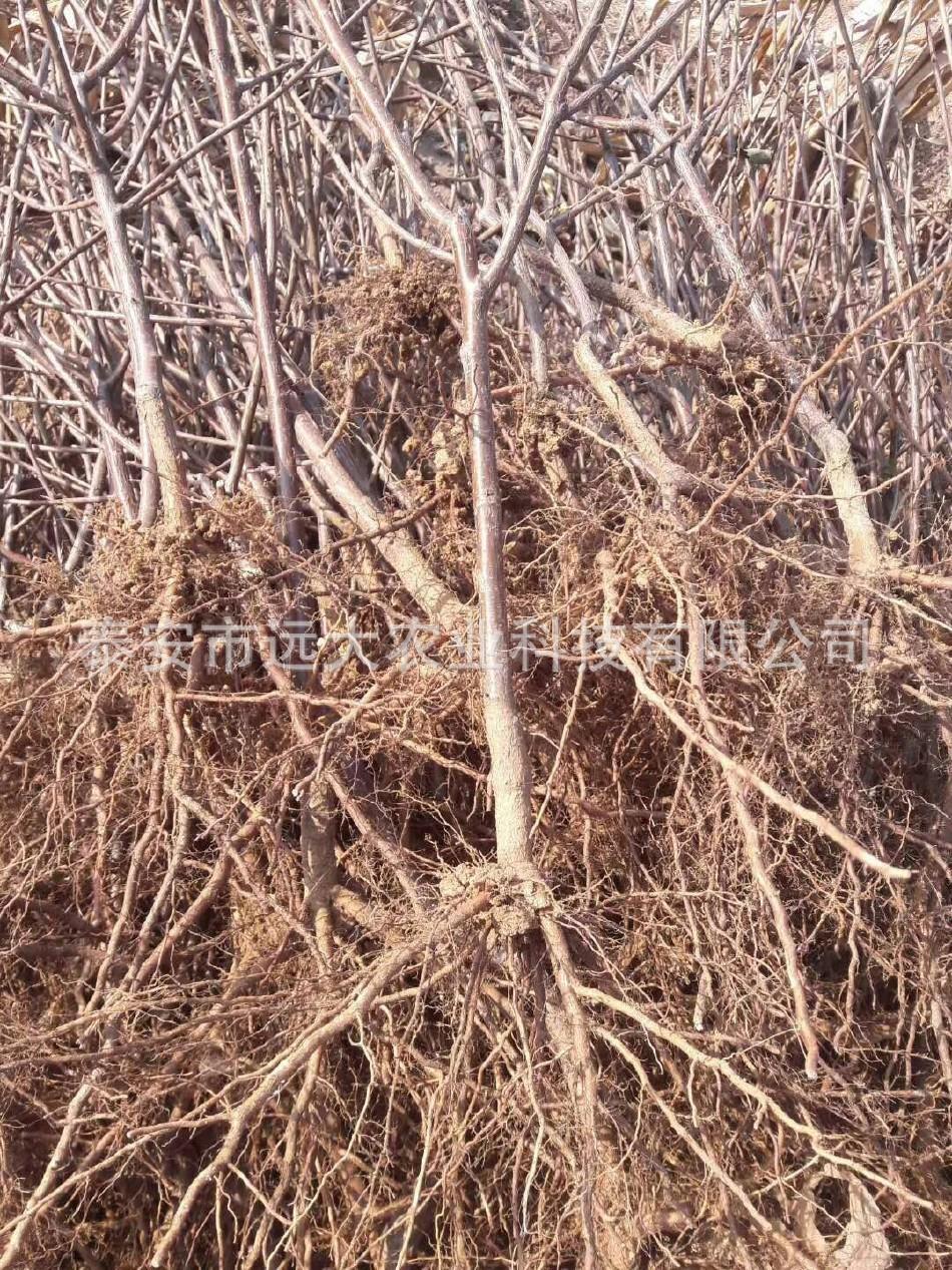 优质红灯樱桃树 基地大量批发嫁接樱桃树 品种齐全 俄八樱桃苗示例图13