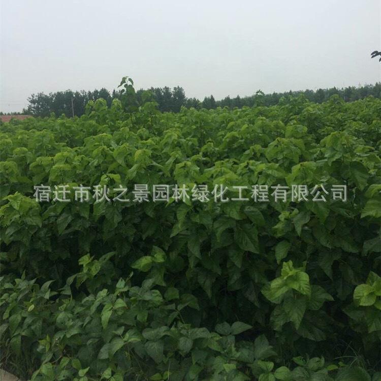 台湾四季桑树苗基地批发 果桑 四季结果 庭院种植果树苗 味甜汁多示例图3