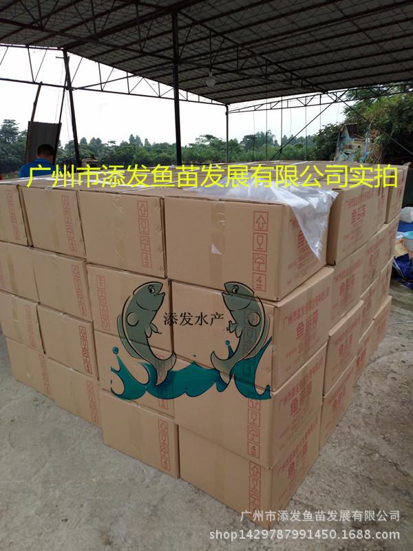 【大量出售】纯种俄罗斯金草鱼鱼苗 金丝鲩鱼苗批发示例图8