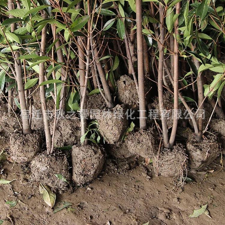 法国冬青/珊瑚树基地批发 园林道路绿化绿篱法国冬青 规格齐全示例图5
