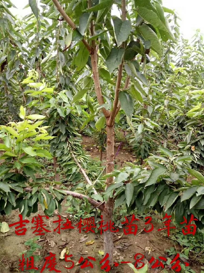 优质红灯樱桃树 基地大量批发嫁接樱桃树 品种齐全 俄八樱桃苗示例图12