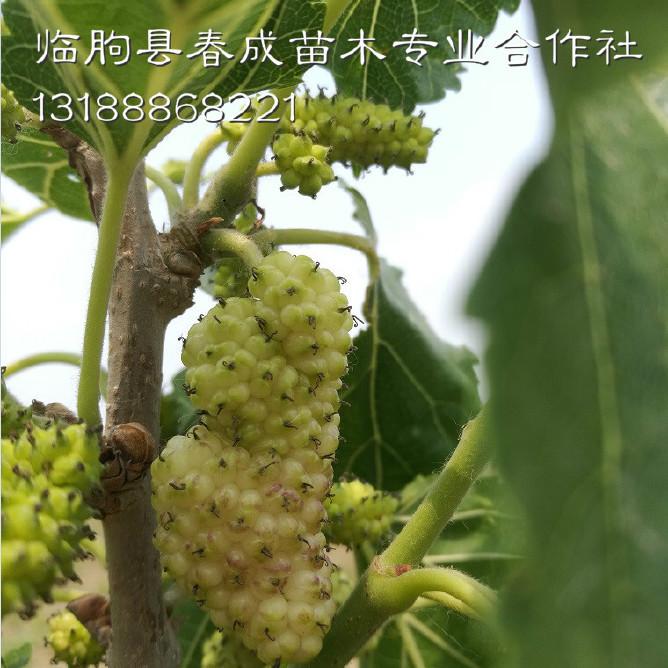 桑葚果树批发示例图13