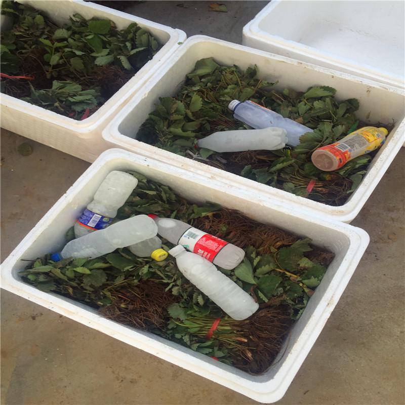 罗卡娜草莓苗批发基地、贵美人草莓苗价格、京怡香草莓苗出售基地