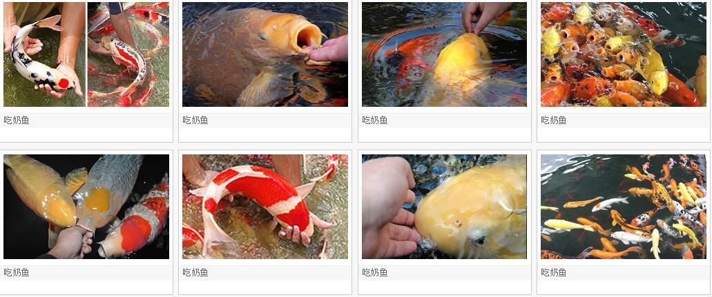 吃奶鱼和旋转秋千鱼升级进化活鱼 们玩的开心吃奶鱼也叫长寿鱼喂奶鱼,娃娃鱼或者 鱼,溜溜鱼,奶嘴鱼示例图57