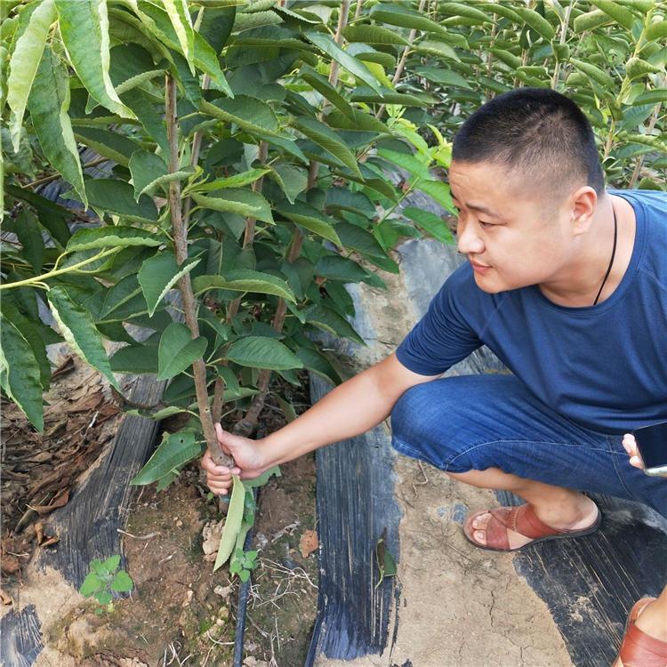 櫻桃苗基地  新中苗木出售3公分 5公分果樹苗 歡迎前來實地考察矮化櫻桃苗