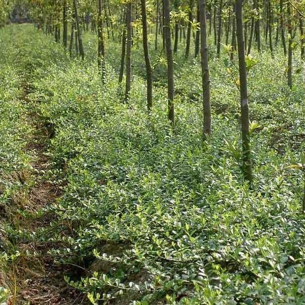 扶芳藤種植戶 小葉扶芳藤 扶芳藤球大量低價供應  芊色苗木
