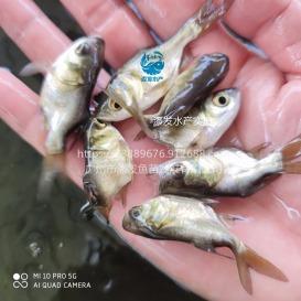 广东广州缩骨大头鱼苗 缩骨花鲢鱼苗养殖技术