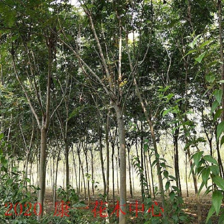優質欒樹,黃山欒樹,鄢陵欒樹,苗木基地直銷