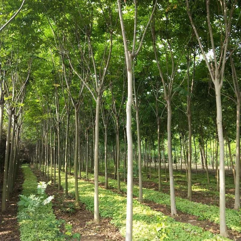 欒樹基地 黃山欒樹供應 3到15公分欒樹價格 行道樹用苗冠幅大公分足
