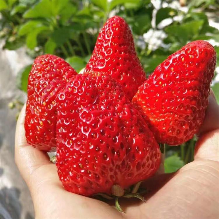新品種草莓苗價格 大棚草莓苗 圣誕紅草莓苗 巧克力草莓苗 妙香草莓苗基地 草莓苗育苗基地
