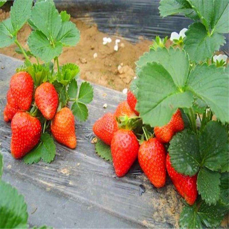 草莓苗新品種 四季草莓苗  當年可以摘果的苗 成活率高
