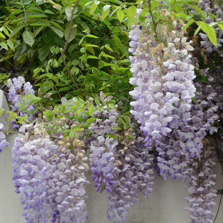 食用紫藤苗1-8公分 批发绿化工程紫藤 规格齐全价格优惠 湘林苗圃