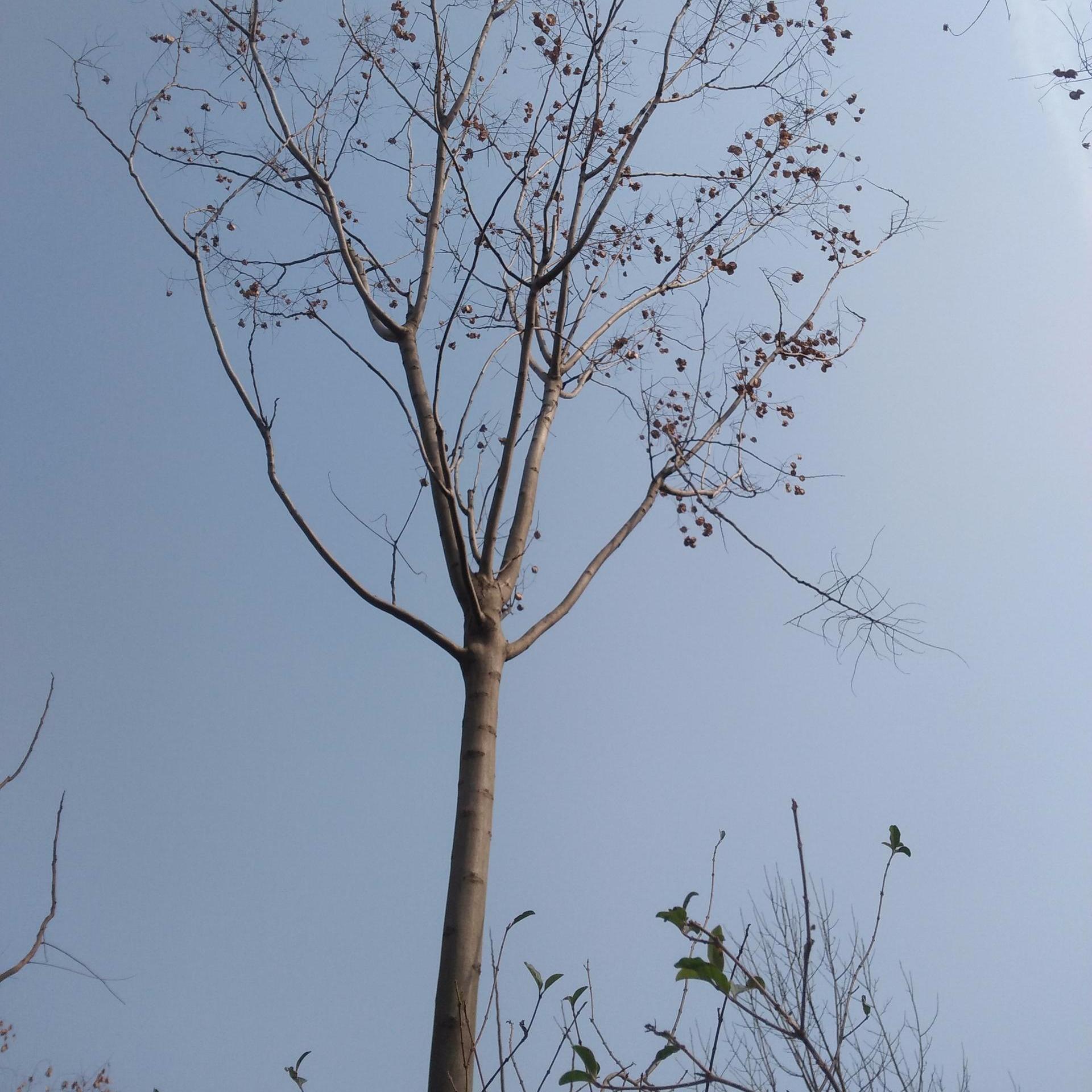 供應欒樹,黃山欒樹,河南欒樹,16公分欒樹,苗木基地,干直冠圓