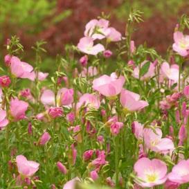 销售美丽月见草种子  美丽月见草种子批发   美丽月见草种子价格  一斤起发货