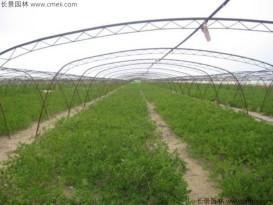 酸枣种子批发零售    低价批发  便宜质量好